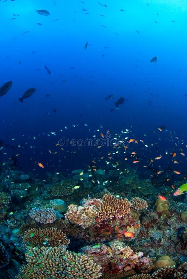 Escuela de pescados sobre el filón coralino fotografía de archivo