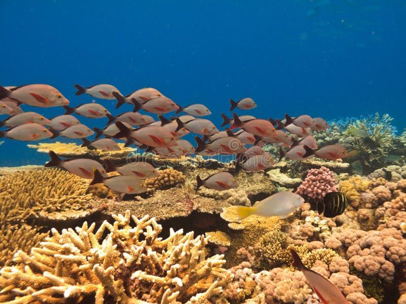Escuela de pescados y del filón de barrera del coral imagen de archivo