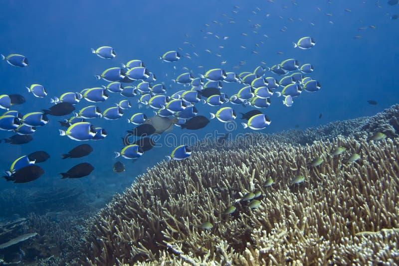 Escuela de Surgeonfishes azules foto de archivo