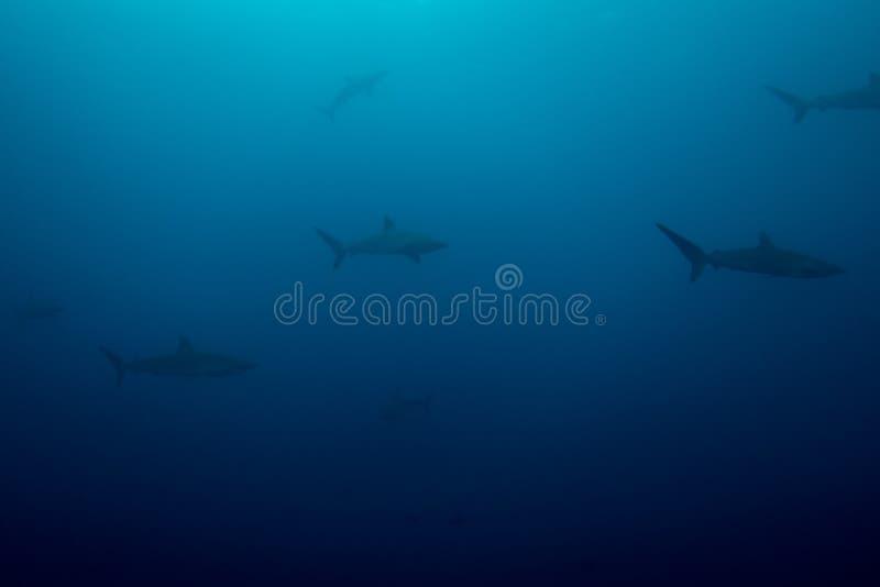 Escuela de tiburones sedosos imagen de archivo libre de regalías