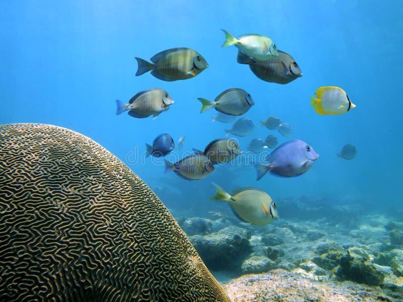 Escuela del Surgeonfish foto de archivo libre de regalías