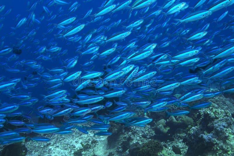 Escuela grande de pescados tropicales en el océano imagen de archivo