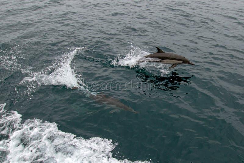 Escuela/vaina de los delfínes comunes de la nariz de la botella en el Océano Pacífico entre Santa Barbara y las Islas del Canal e fotografía de archivo libre de regalías