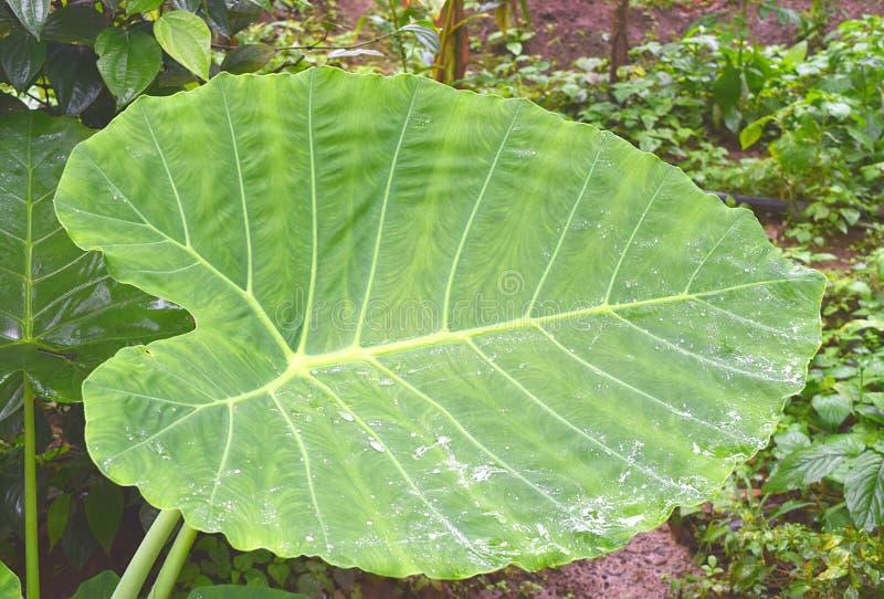Esculenta芋大绿色的叶子-芋头、细平面海绵体或者Eddoe厂 免版税库存图片