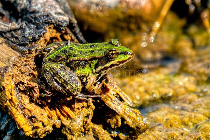 Esculenta- κοινή ηλιοθεραπεία βατράχων νερού Rana στοκ εικόνες