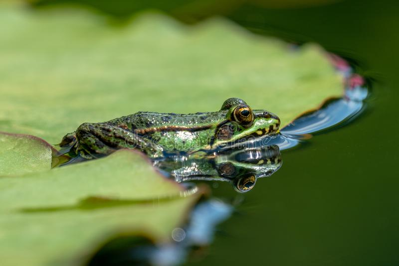 Esculenta- κοινός βάτραχος νερού Rana που κάνει ηλιοθεραπεία σε μια λίμνη στοκ φωτογραφίες με δικαίωμα ελεύθερης χρήσης