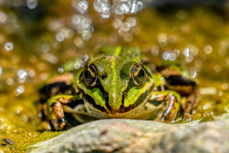 Esculenta- μακροεντολή Rana της κοινής ηλιοθεραπείας βατράχων νερού στοκ φωτογραφία με δικαίωμα ελεύθερης χρήσης