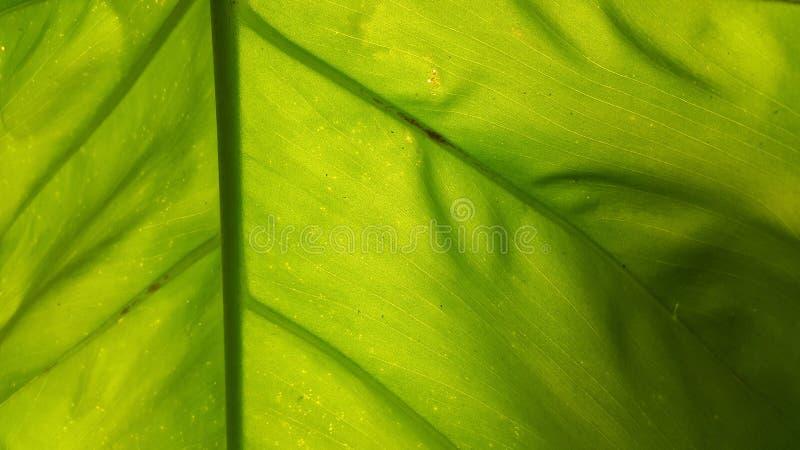 Esculenta aquatilis Colocasia στοκ εικόνα