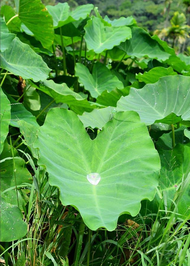 Esculenta - Elefant-örat växten - grönt blad för Colocasia med en stor vattendroppe i mitt royaltyfri bild