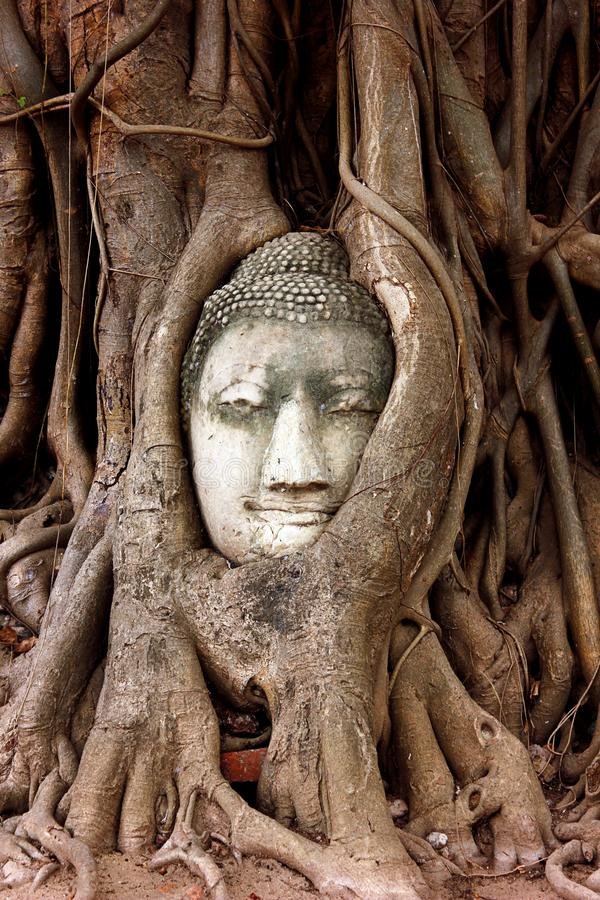 Escultura de la cabeza de Buda atrapada en las ra?ces de un ?rbol grande en Wat Mahathat Parque hist?rico Tailandia de Ayutthaya foto de archivo libre de regalías