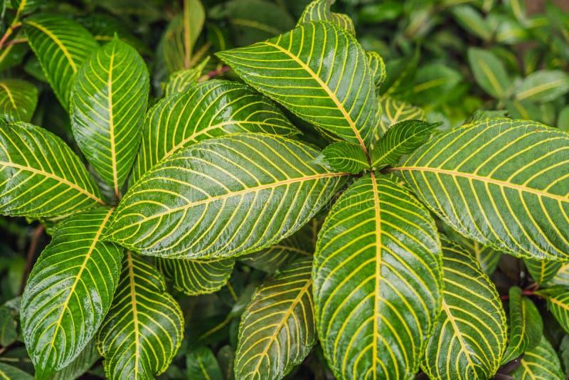 Escuro abstrato - verde da planta tropical e da folha verde após gotas da chuva na estação da monção imagens de stock