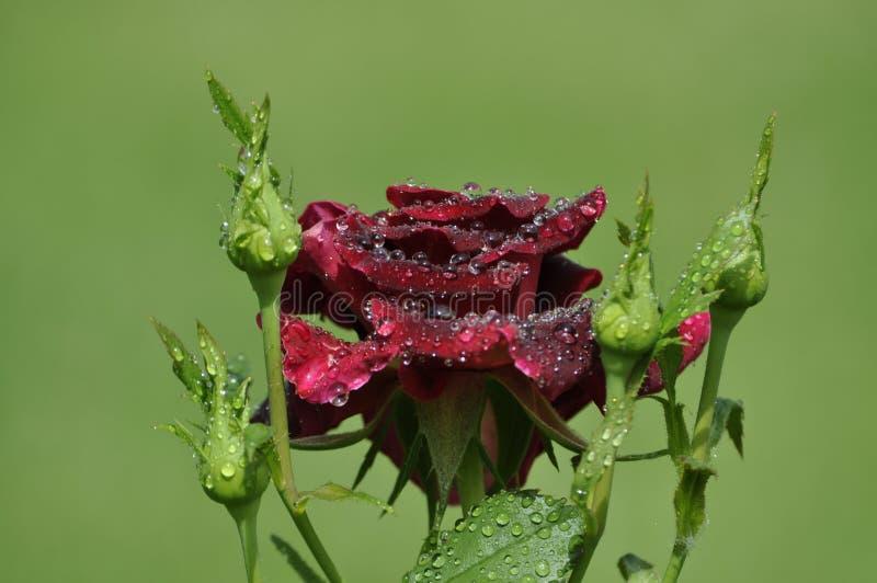 Escuro bonito - rosa vermelha com gotas e botões de orvalho frescas imagens de stock royalty free
