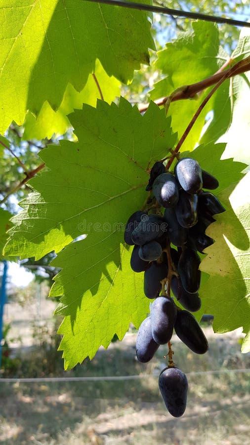 Escuro - close up azul das bagas da uva com a folha verde grande no fundo O grupo da uva roxa madura está pendurando da vinha imagens de stock