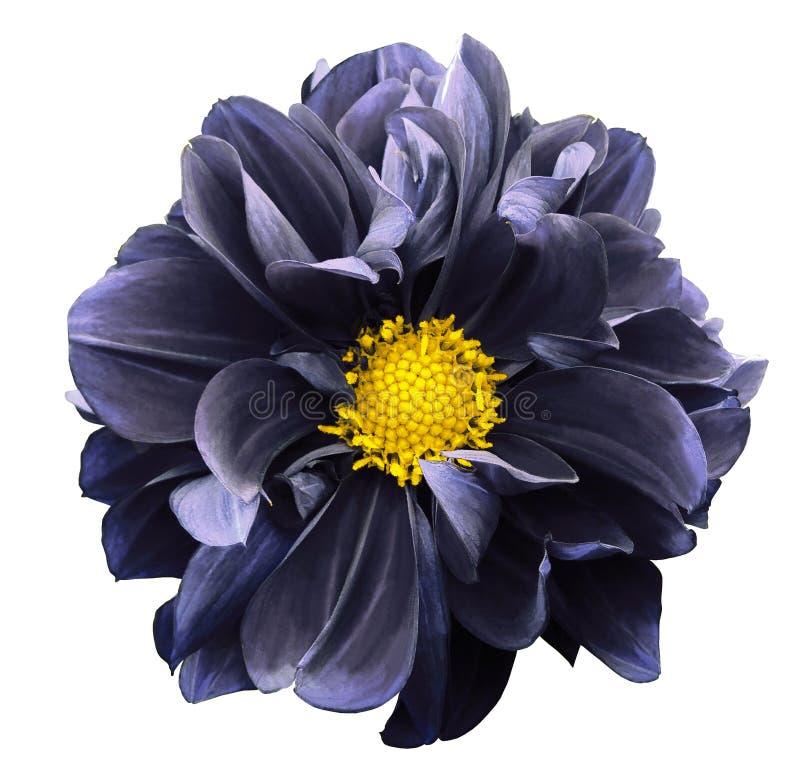 Escuro - dália azul Floresça em um fundo isolado branco com trajeto de grampeamento Para o projeto closeup imagem de stock