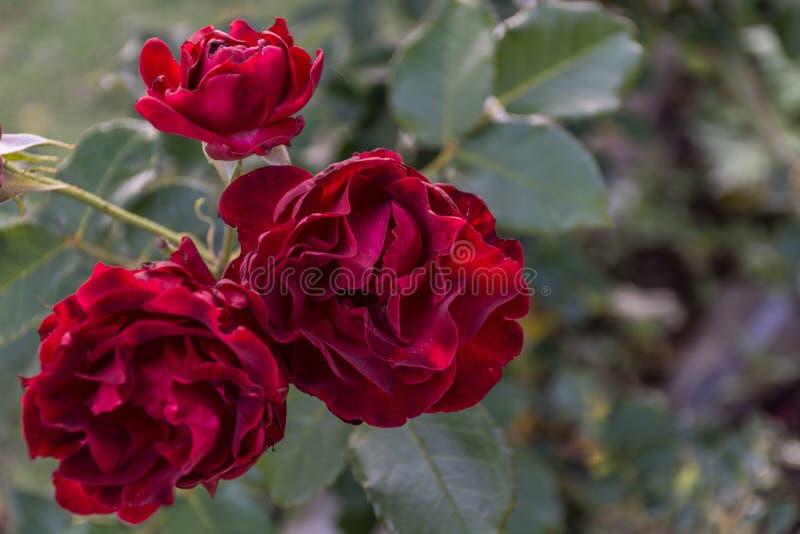 Escuro - Dr. vermelho Rosas de Huey que florescem no conjunto imagens de stock