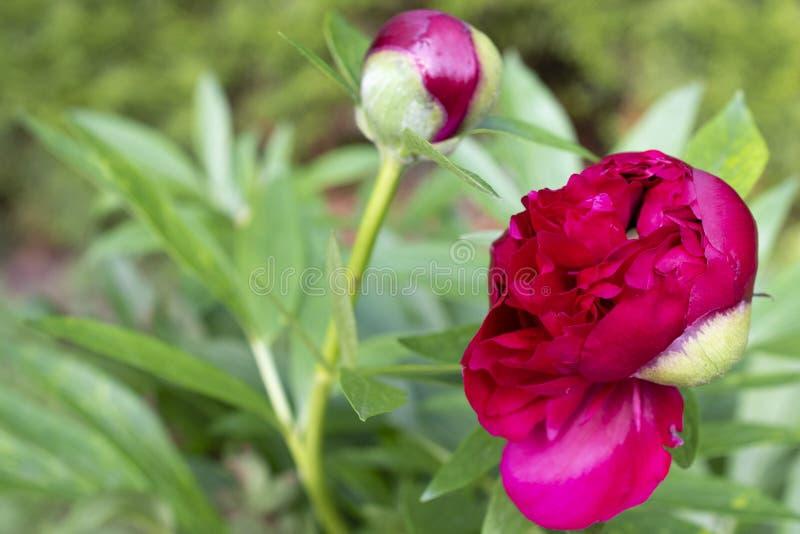 Escuro - flor vermelha da peônia, botão, folhas verdes imagem de stock