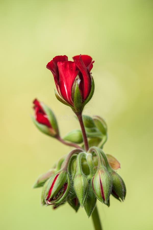 Escuro - flor vermelha do gerânio foto de stock royalty free
