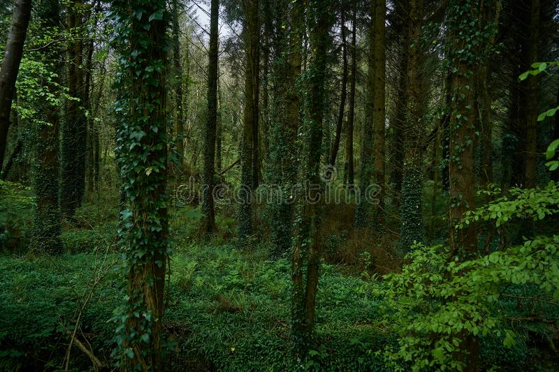 Escuro - floresta verde da mola na Irlanda foto de stock royalty free