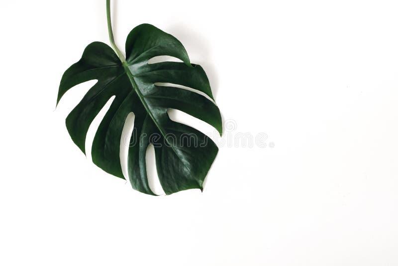 Escuro - folha verde do deliciosa de Monstera isolada no backgound branco da tabela Planta do queijo su??o Selva tropical, verão foto de stock