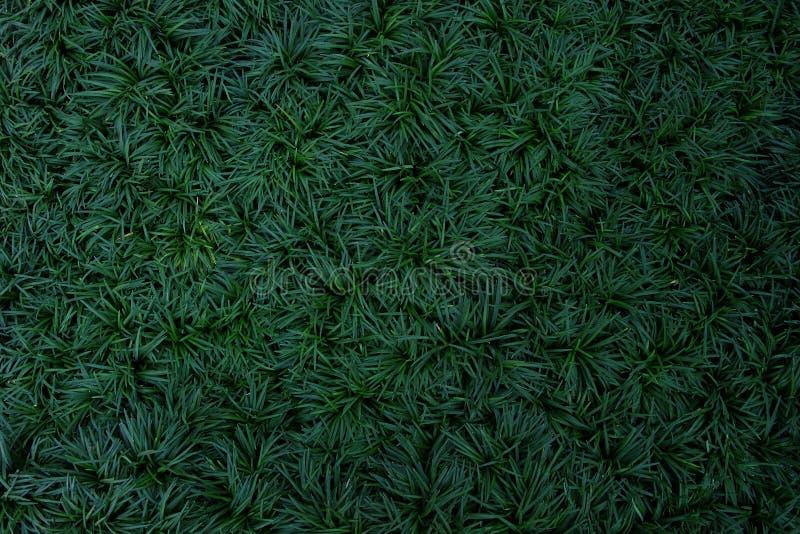 Escuro - folhas do verde da planta da vegetação rasteira, da mini grama do mondo ou do sna fotografia de stock royalty free