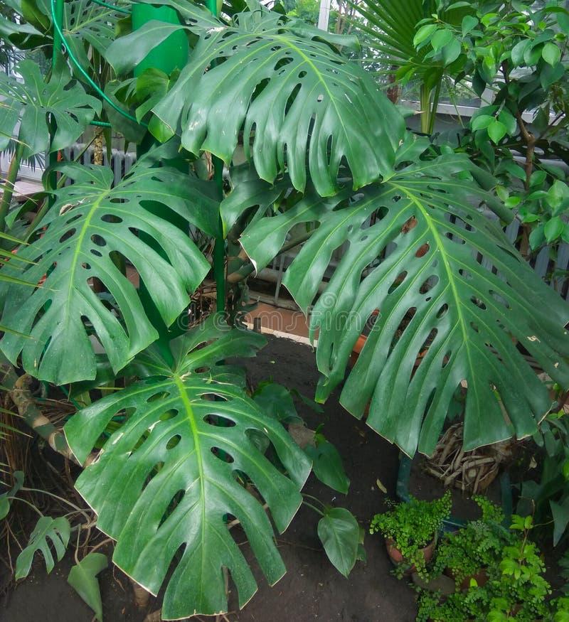 Escuro - folhas do verde do deliciosa do monstera ou do Monstera do philodendron da separação-folha o crescimento tropical da pla imagens de stock royalty free