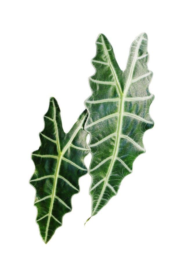 Escuro - folhas do verde do Alocasia Amazonica ou da máscara africana, exóticas foto de stock