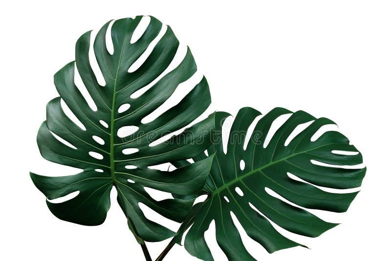 Escuro - folhas do verde do philodendron Monste do monstera ou da separação-folha imagem de stock