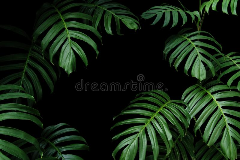Escuro - folhas verdes de Monstera nativo as videiras sempre-verdes da planta tropical da floresta, quadro da folha da natureza n foto de stock