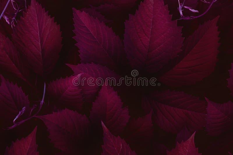 Escuro - fundo minimalistic vermelho da opinião superior das folhas imagens de stock