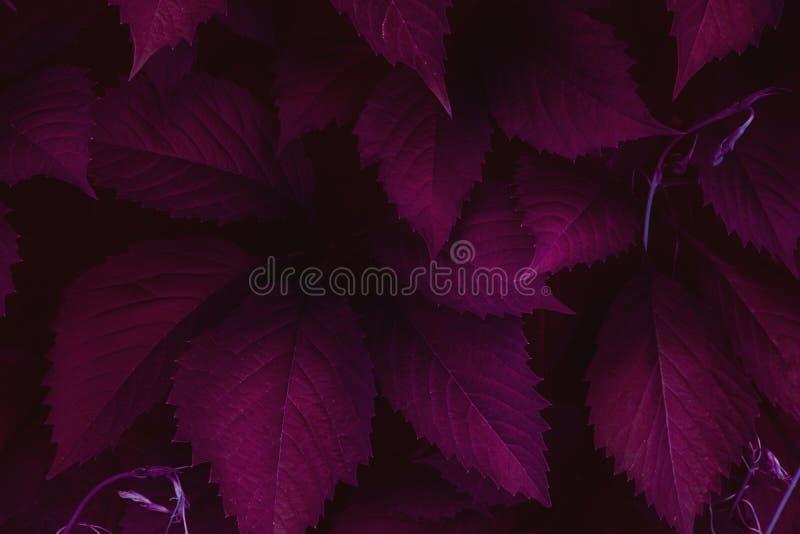 Escuro - fundo minimalistic vermelho da opinião superior das folhas imagem de stock