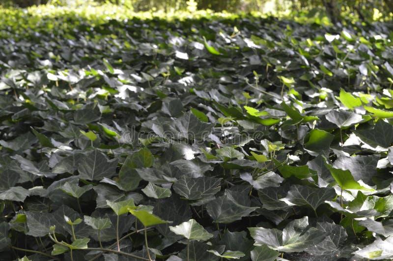 Escuro - hera verde imagem de stock