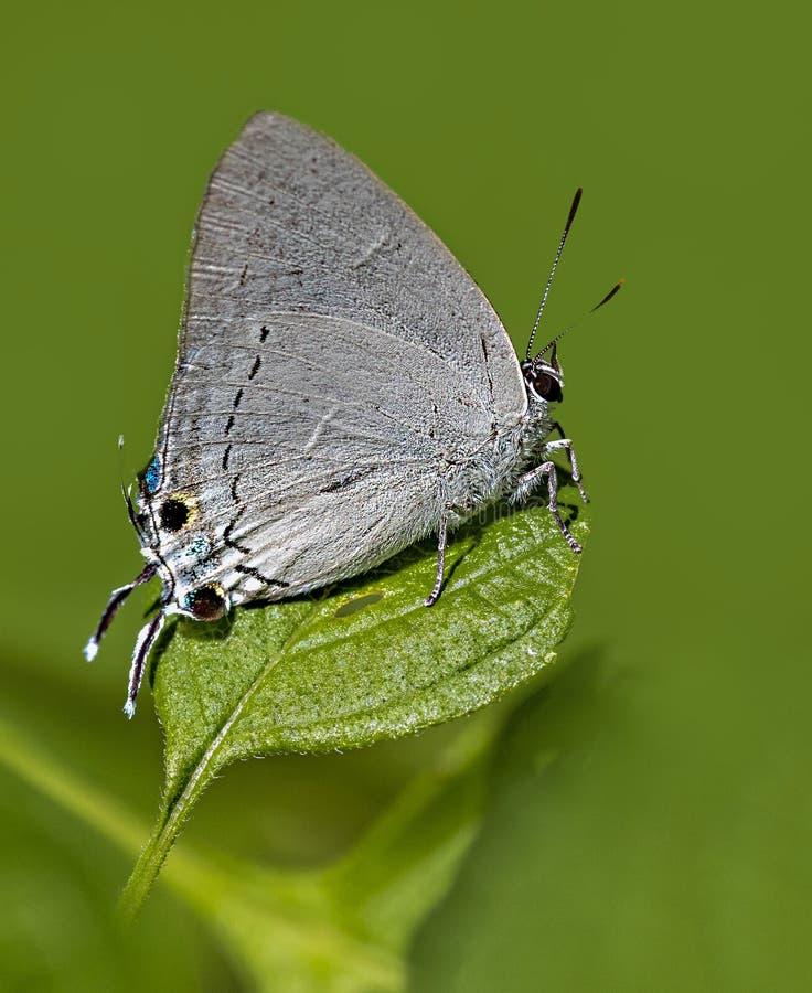 Escuro Himalaia - borboleta real azul na borda da folha imagem de stock