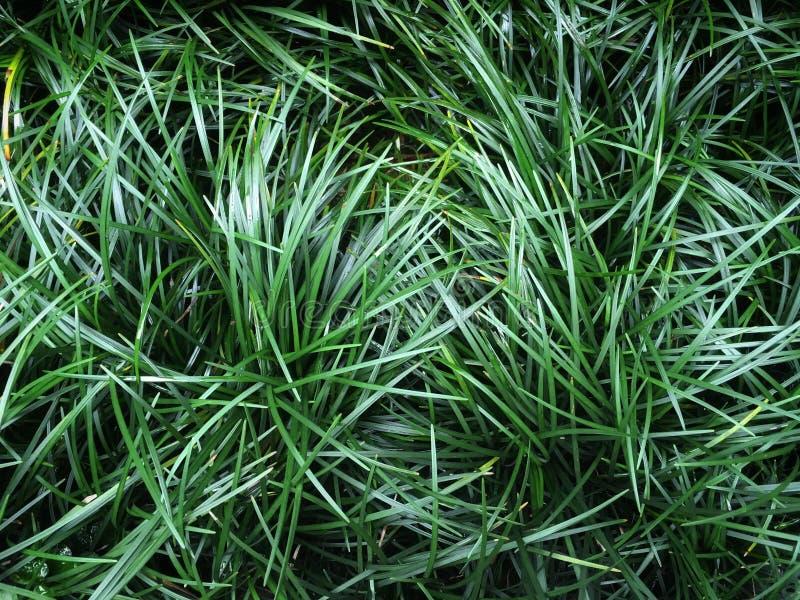 Escuro japonicus de Ophiopogon - folhas verdes da grama pelo fundo da planta da vegetação rasteira foto de stock royalty free