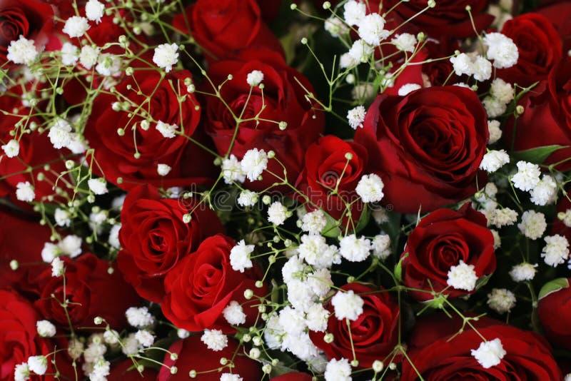 Escuro natural - Ruby Roses Background Wallpaper vermelho foto de stock royalty free