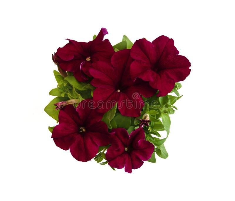 Escuro - petúnia vermelho no close up em pasta das flores imagens de stock royalty free