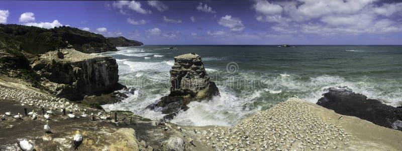 Escursione di un giorno iconica della Nuova Zelanda della colonia di sula di Muriwai immagini stock
