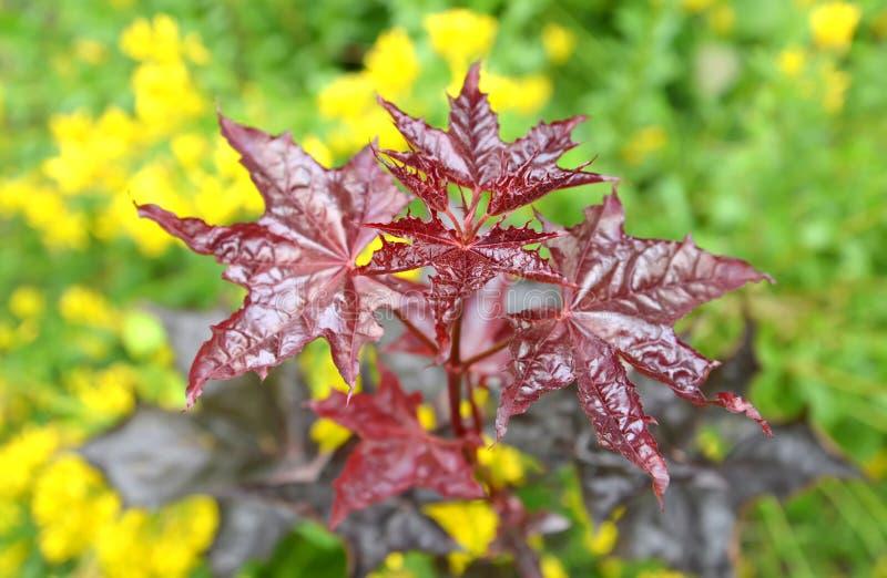 Esdoorn acutifoliate Karmozijnrode Koning (de Karmozijnrode Koning van Acer platanoides), jonge plant royalty-vrije stock fotografie