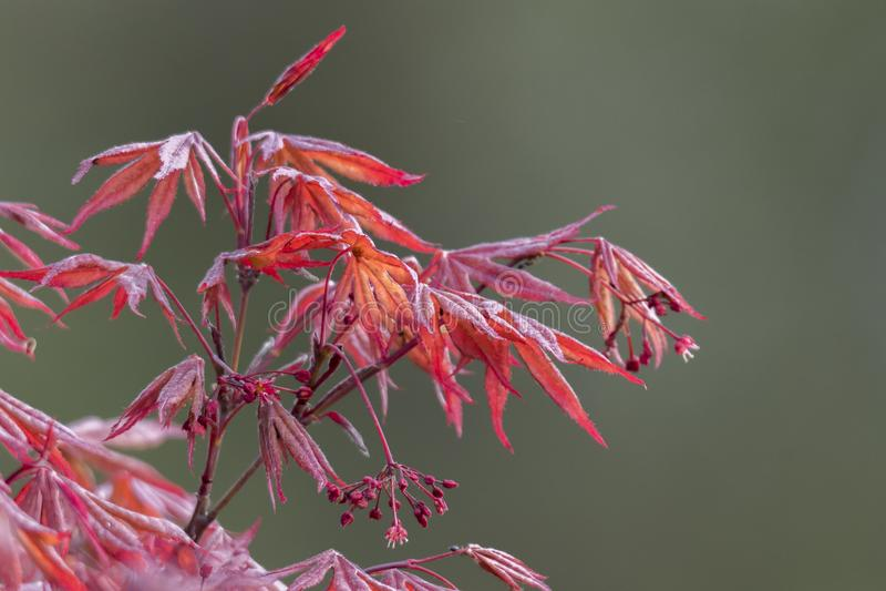 Esdoornblad in de lente stock afbeelding