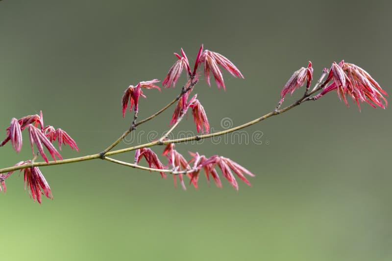 Esdoornblad in de lente stock fotografie