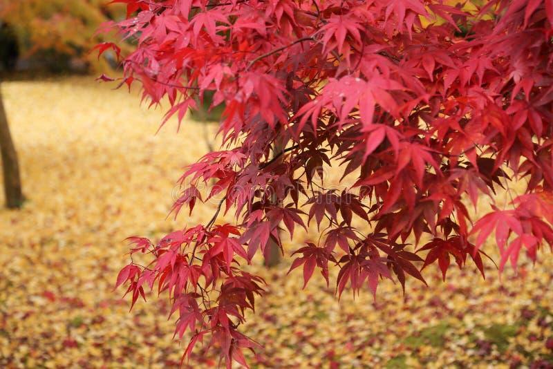 Esdoornbladeren in de herfst in Japan stock foto's