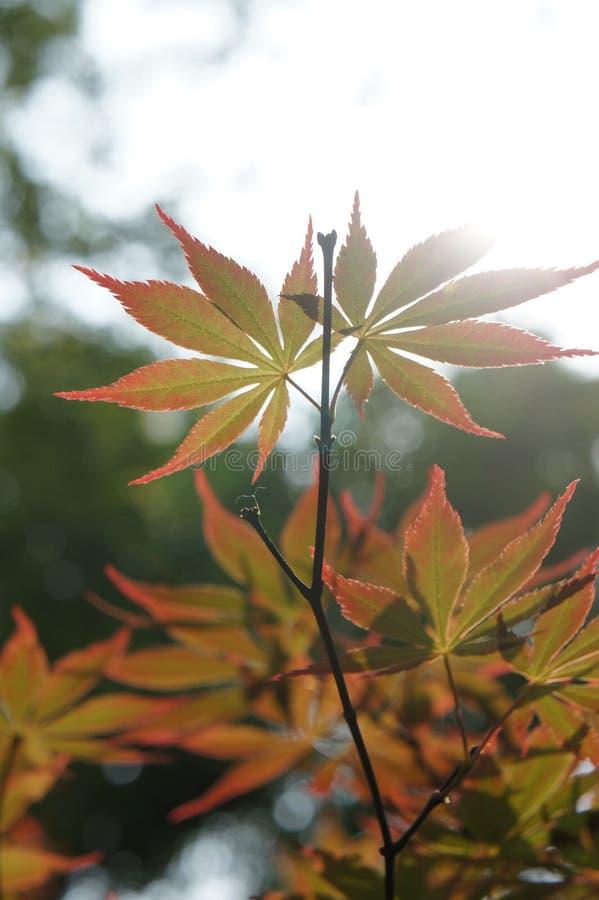 Esdoornbladeren in de zon stock foto
