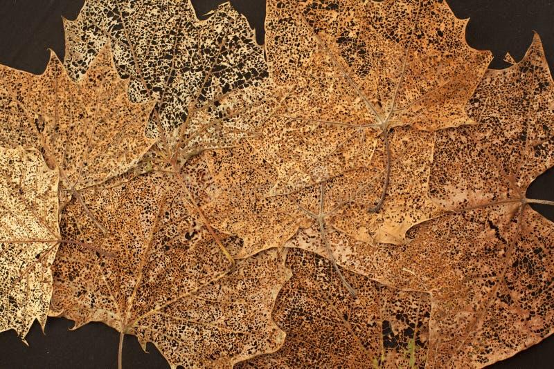 Esdoornbladeren met filigraan royalty-vrije stock foto