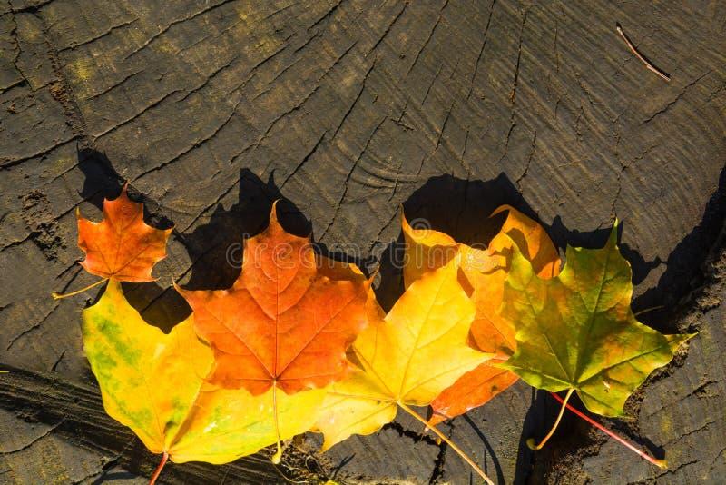 Esdoornbladeren met hard zonlicht over houten stomp stock afbeeldingen