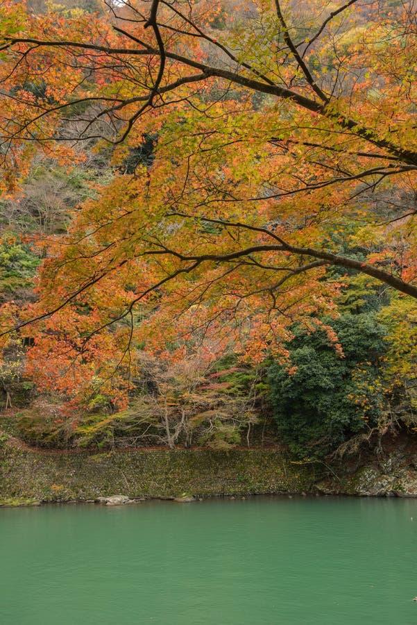 Esdoornboom in Arashiyama royalty-vrije stock fotografie