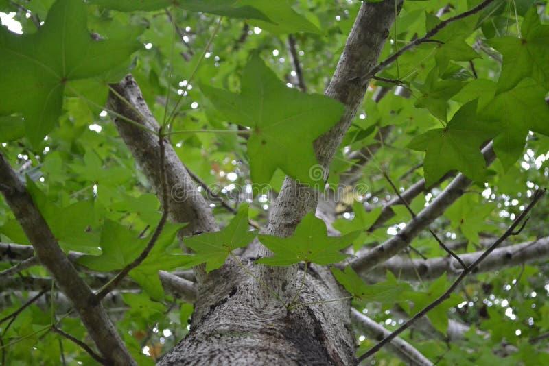 Esdoornboom die omhoog eruit zien stock foto