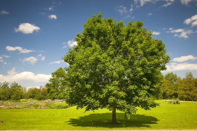 Esdoornboom op de zomergebied stock afbeeldingen