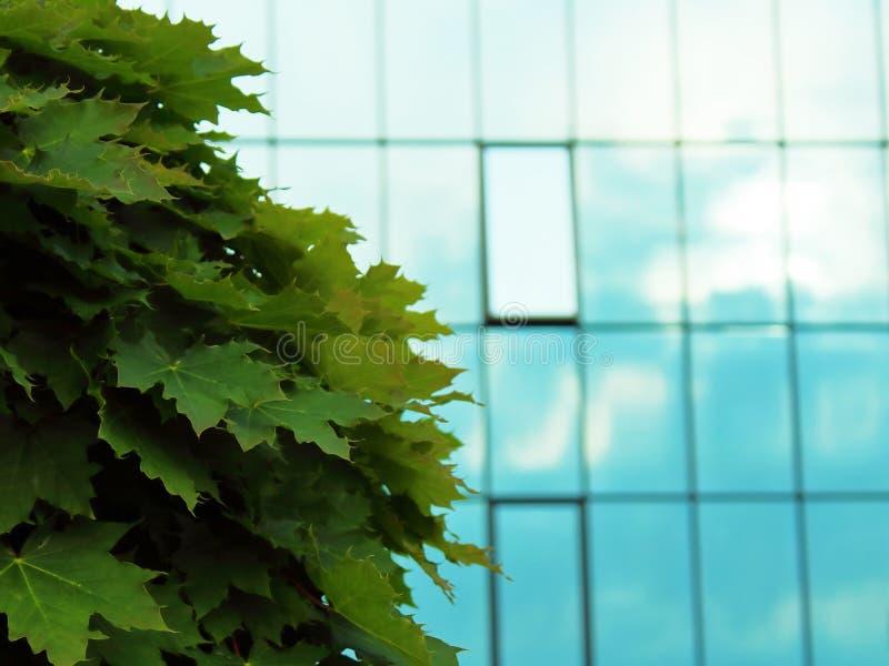 Esdoornboom op een vage de bouwachtergrond royalty-vrije stock afbeeldingen