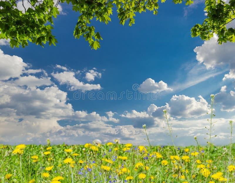 Esdoorntakken, hemel met wolken en gazon met paardebloemen stock foto's