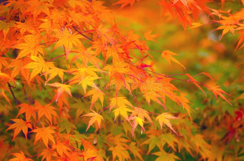 Esdoornverlof in de herfst royalty-vrije stock afbeelding