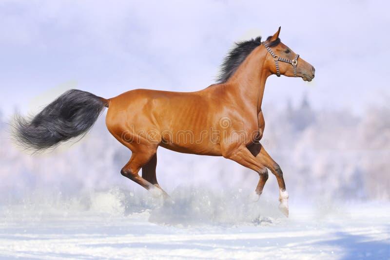 Esecuzione dei cavalli fotografie stock libere da diritti